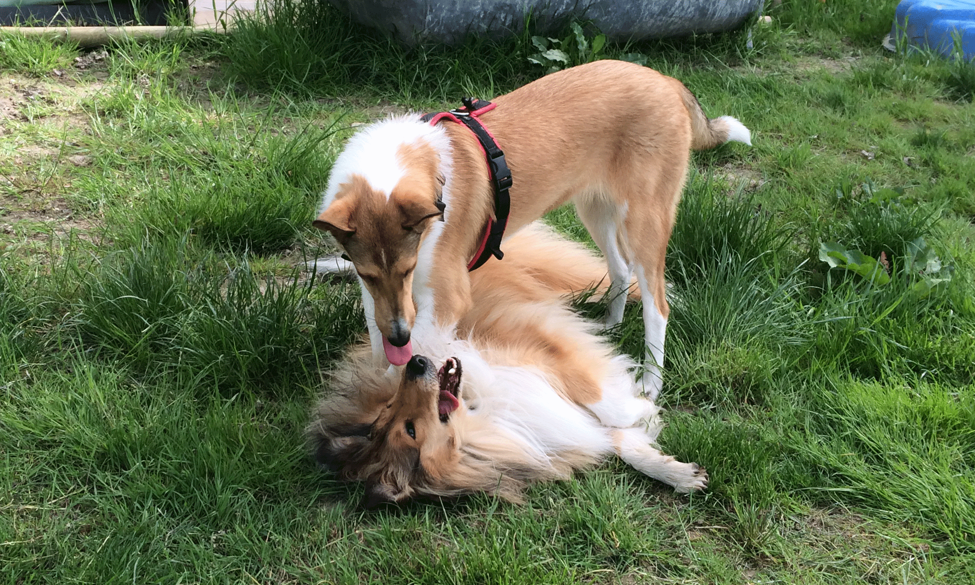 collies.png